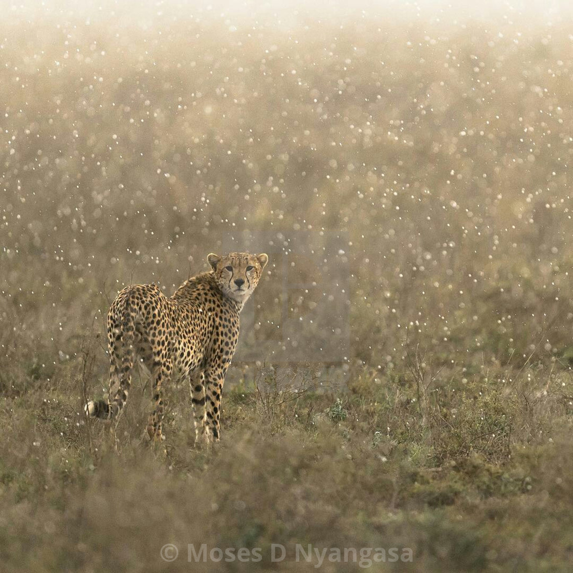 """A Magic In the Serengeti National Park"" stock image"