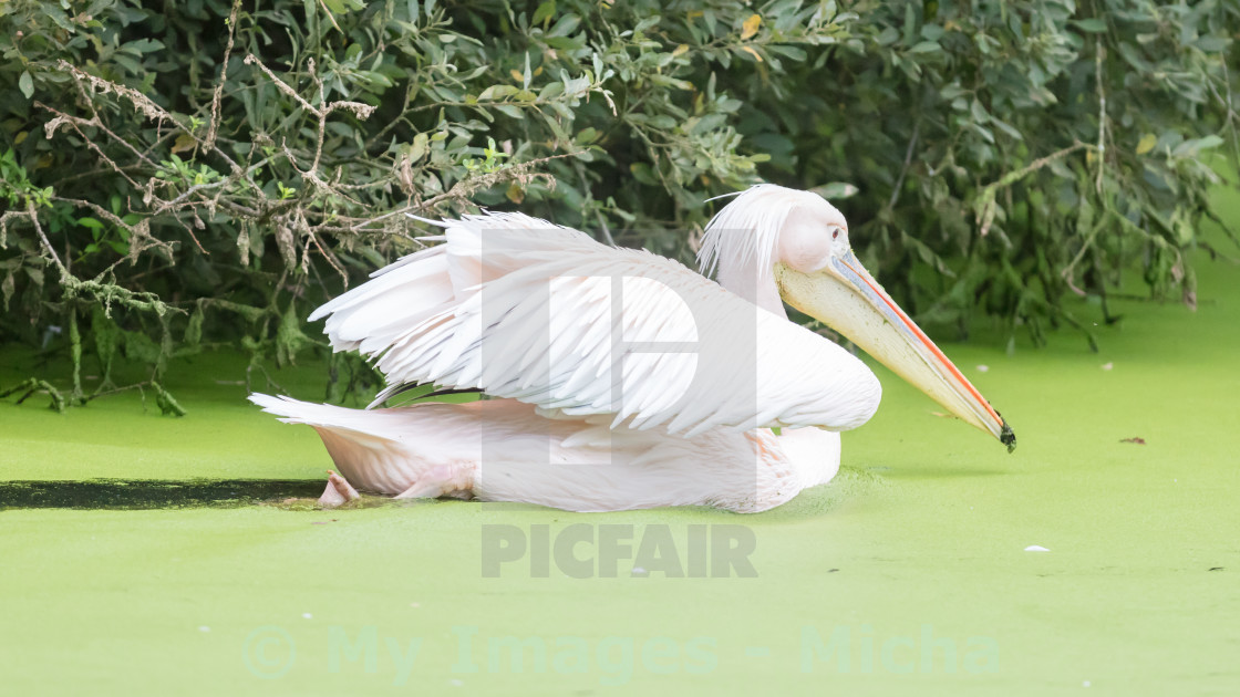 Swimming pelican, dirty water - License, download or print for £6 20