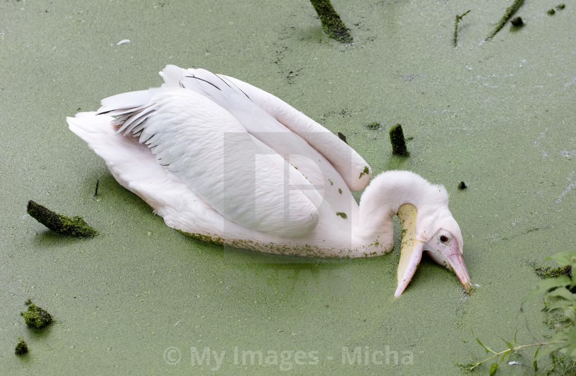 Swimming pelican, dirty water - License, download or print
