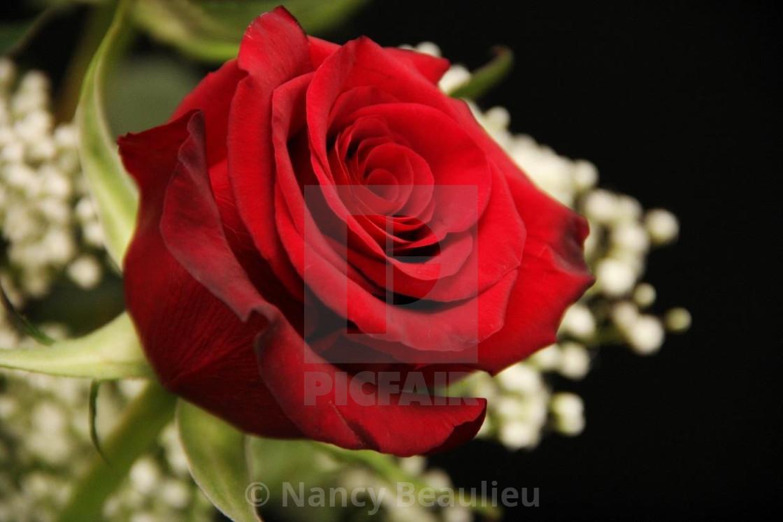 """""""Rose petals"""" stock image"""