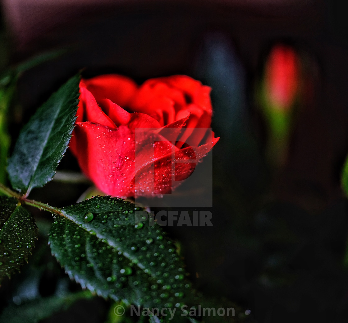 Red Rose With Dew Drop And Black Background License Download Or Print For 12 40 Photos Picfair