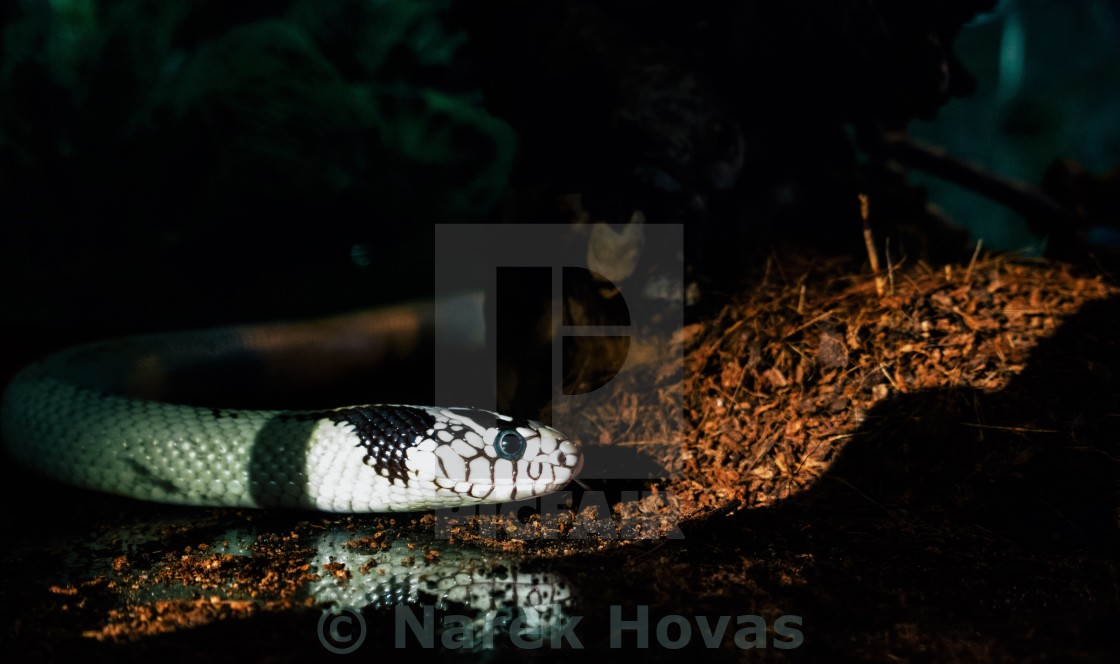 """Lampropeltis getula californiae"" stock image"