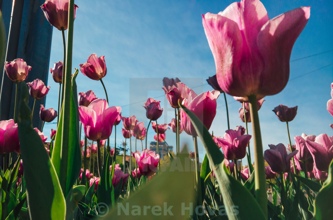 """""""Pink tulips filled with sunlight"""" stock image"""