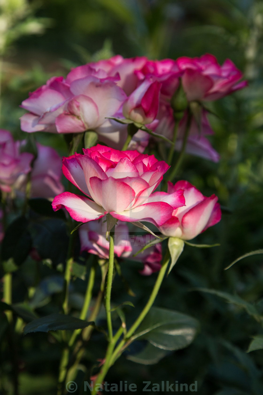 Lovely Rose In The Morning Sun License Download Or Print For
