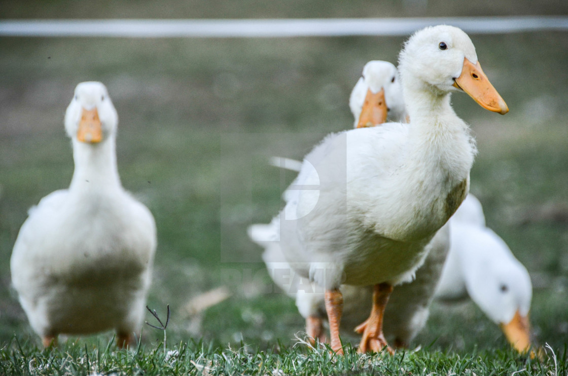 """four little ducks"" stock image"