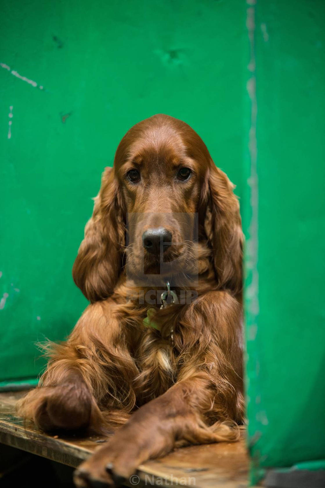 Crufts 2019  - License, download or print for £10 54