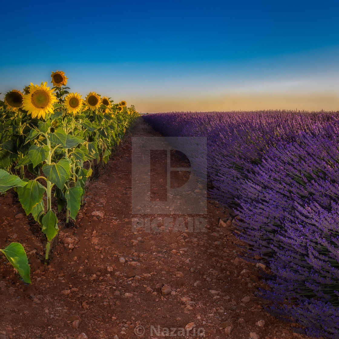 """""""Lavander and sunflowers"""" stock image"""