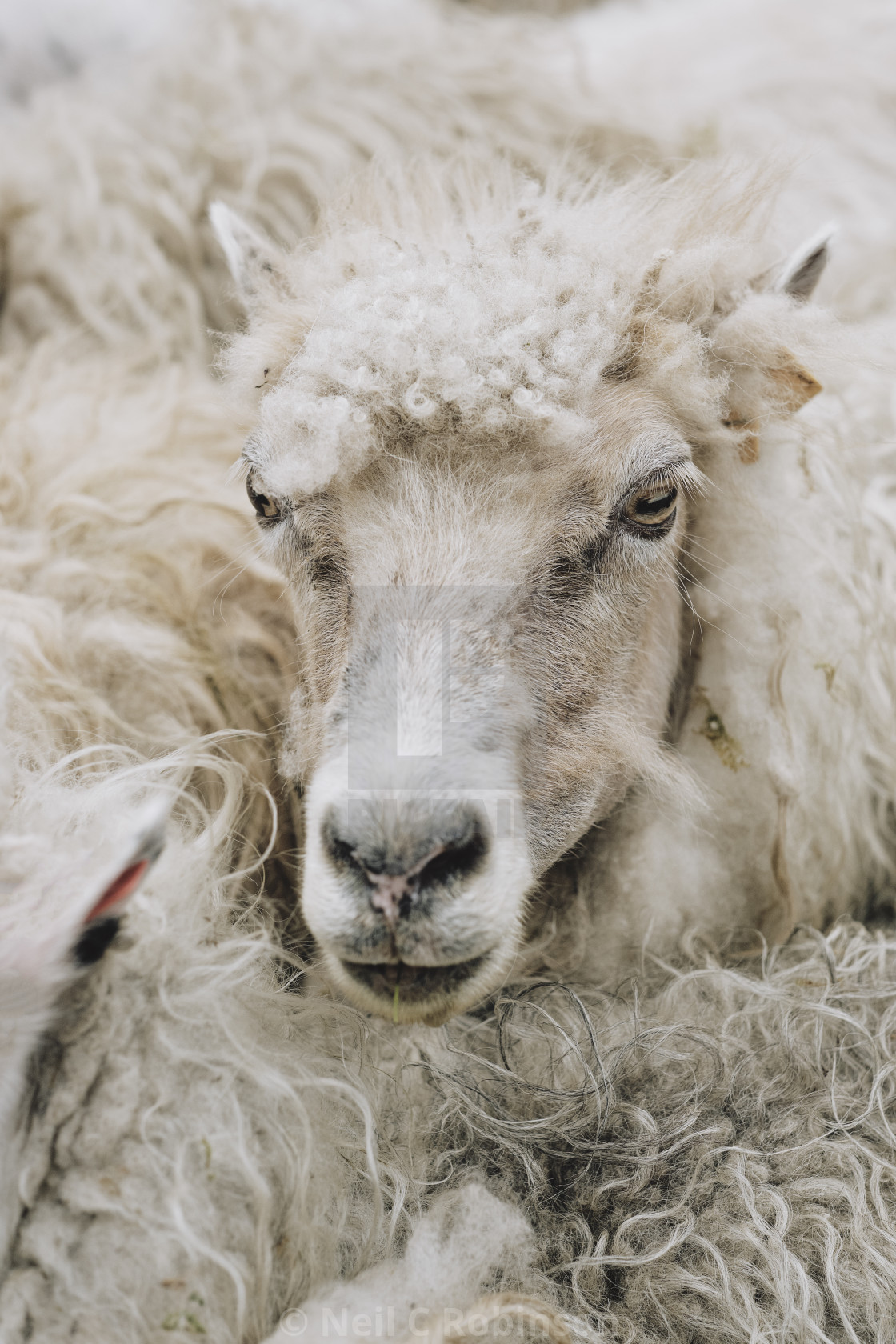 """A Faroese sheep"" stock image"