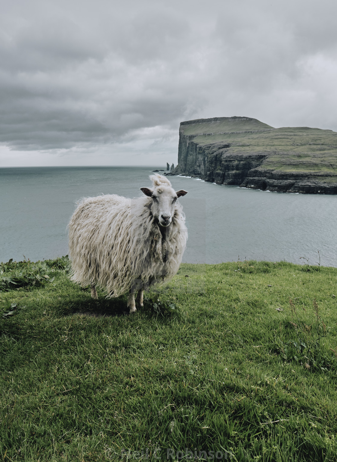 """A Faroese sheep in the windswept Faroe Islands landscape."" stock image"