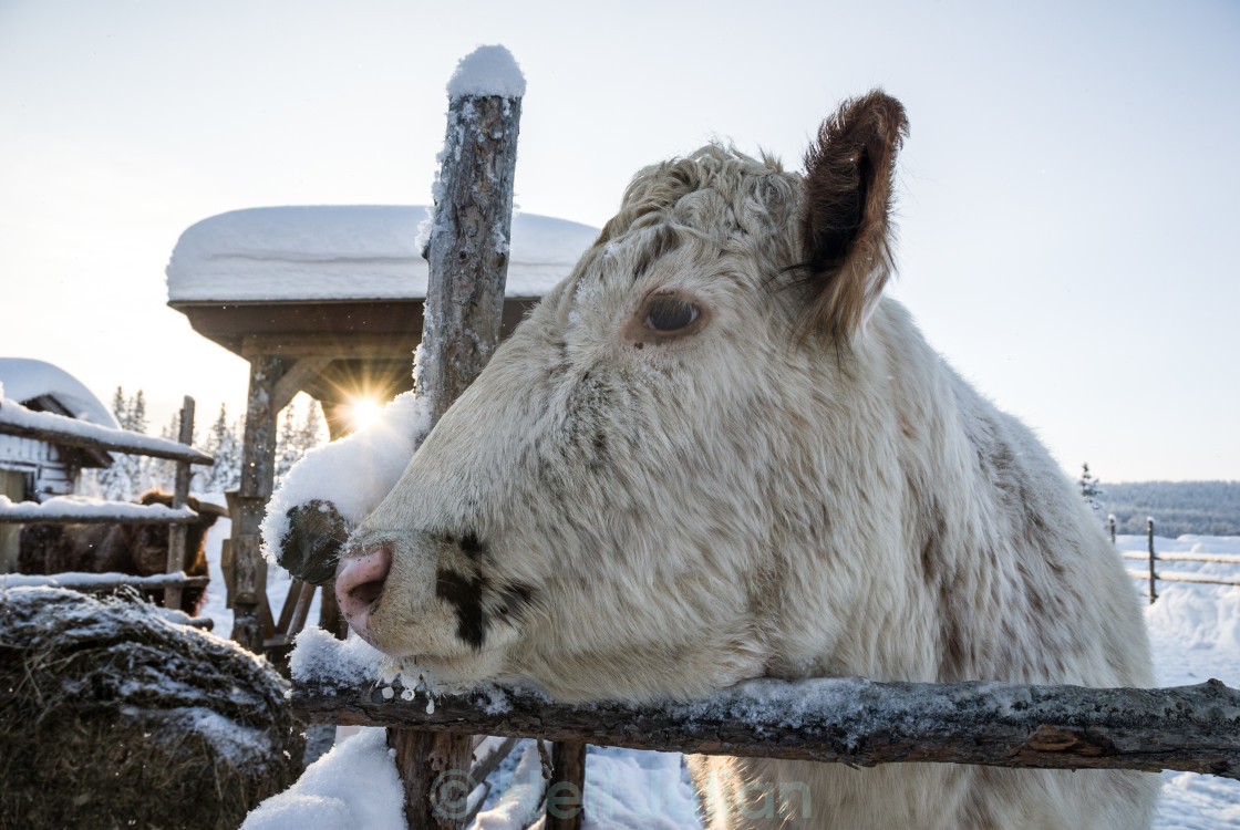 """Hardy arctic cow"" stock image"