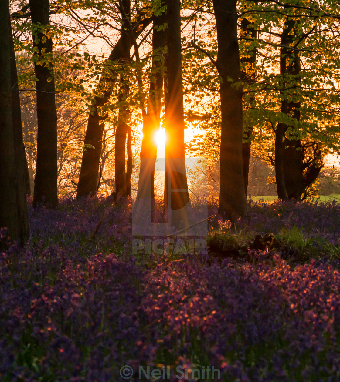 """Sunset over bluebells"" stock image"