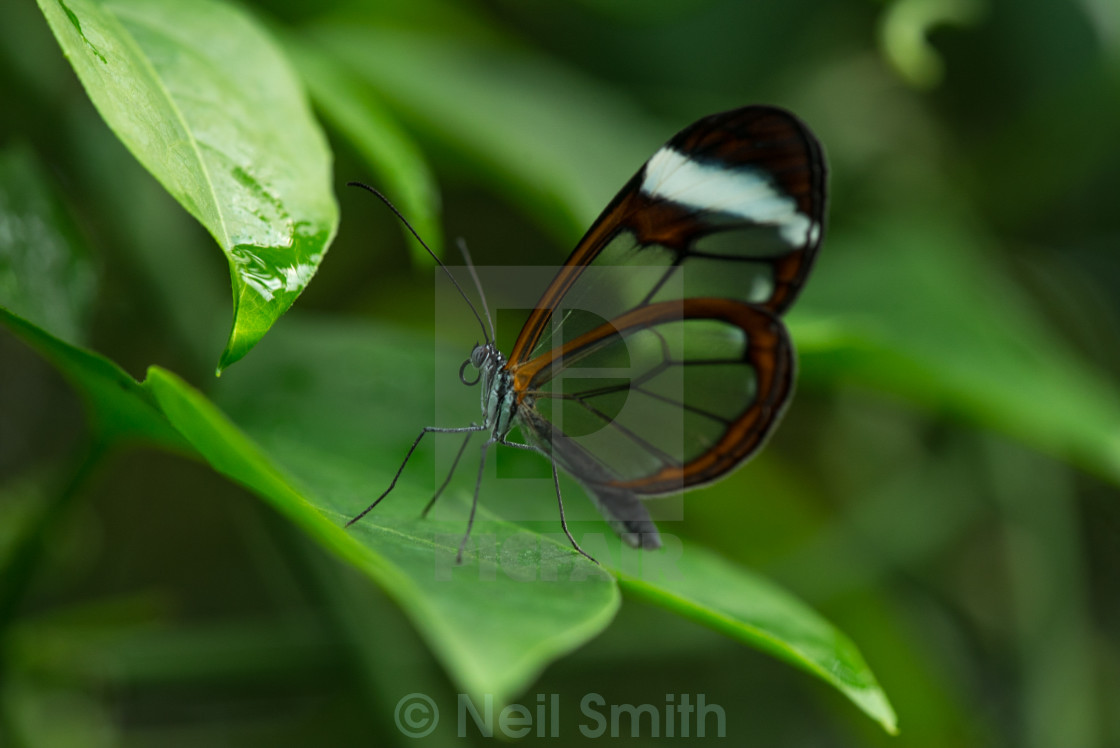 """""""Glass wing butterfly"""" stock image"""