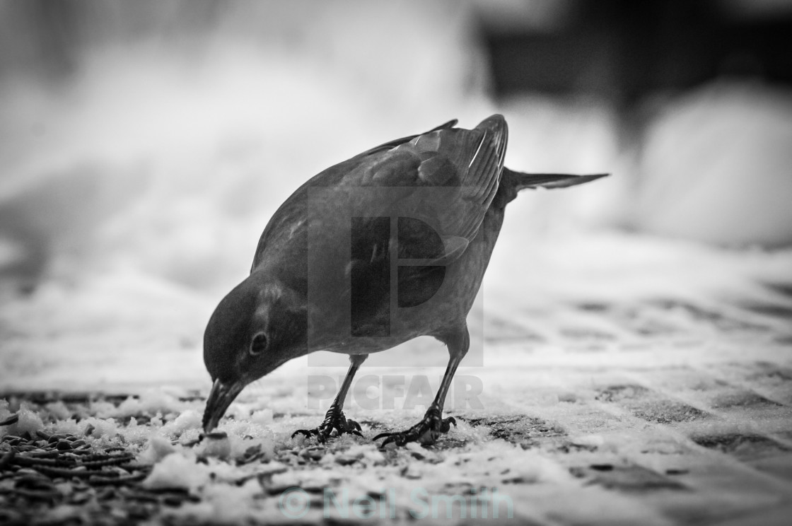 """Feeding blackbird"" stock image"