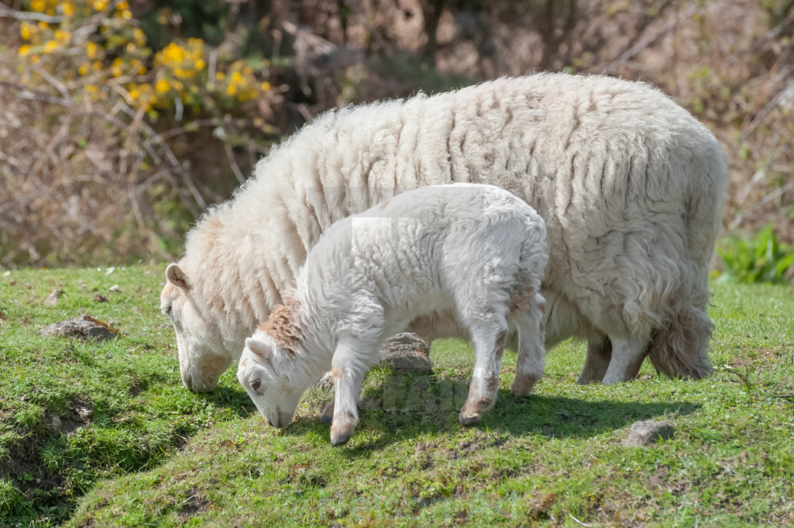 """sheep grazing"" stock image"
