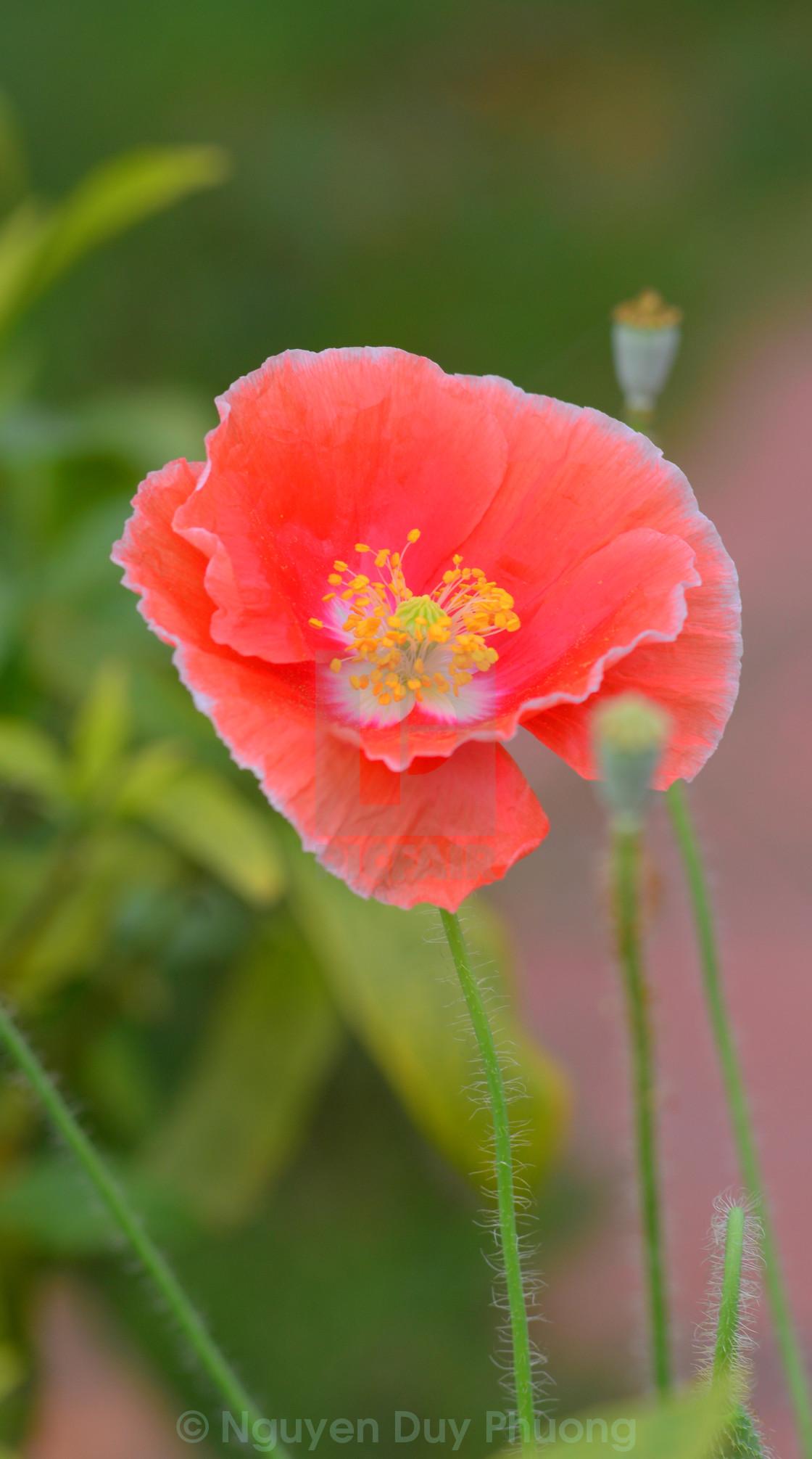Beautiful Single Sed Poppy Flower License For 413 On Picfair