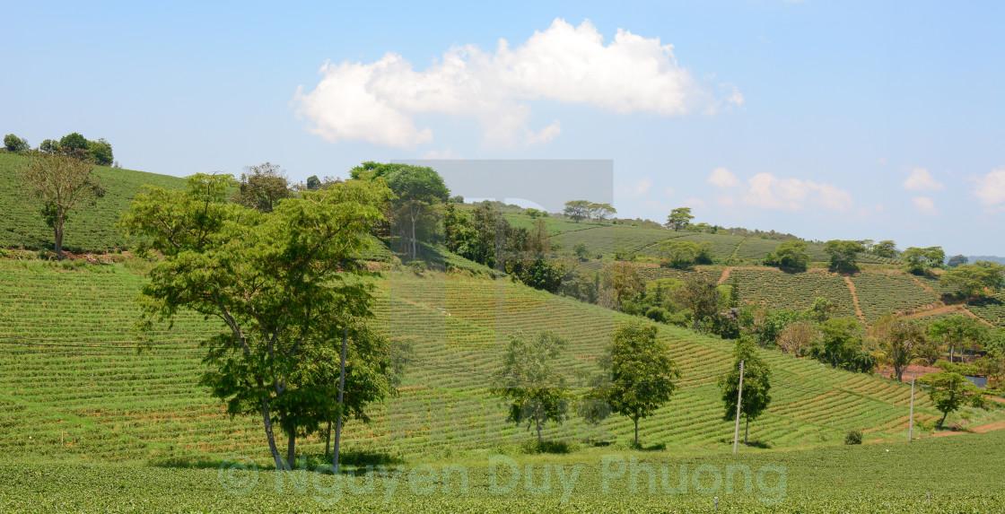 """""""Tea farm at Bao Loc highland"""" stock image"""