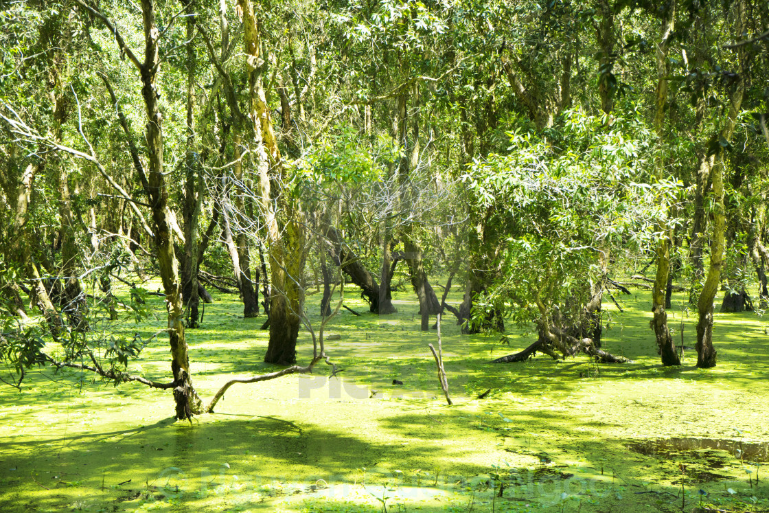 """""""Flooded trees in mangrove rain forest"""" stock image"""