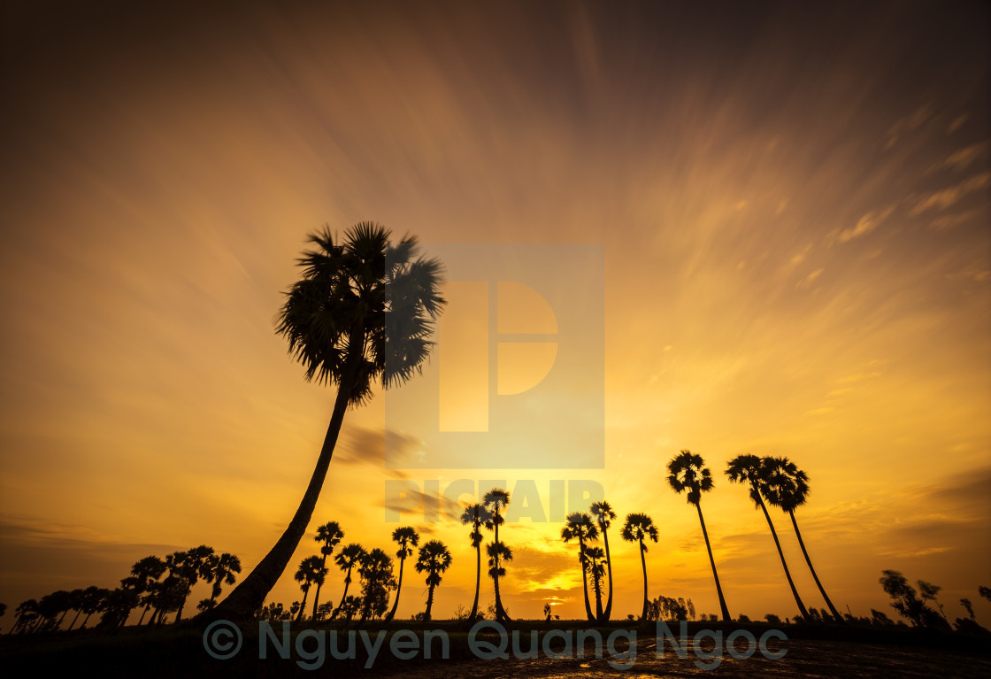 """sunset on the palm tree field"" stock image"