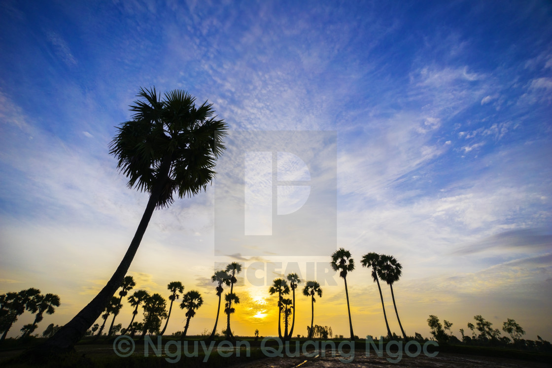 """sunrise on the palm tree field"" stock image"