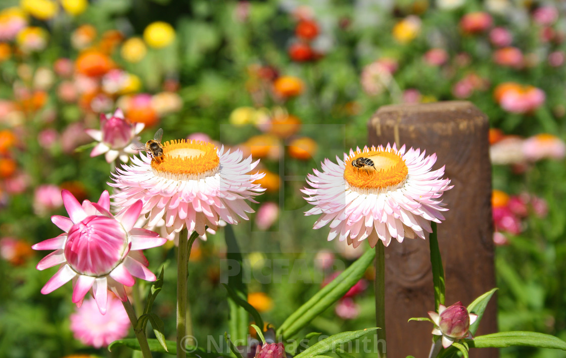 """""""Two bees, sat on summer flowers."""" stock image"""