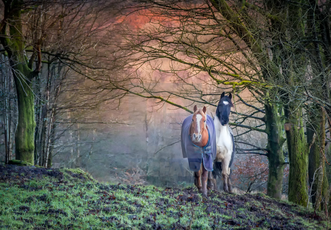 """Welsh Horses"" stock image"