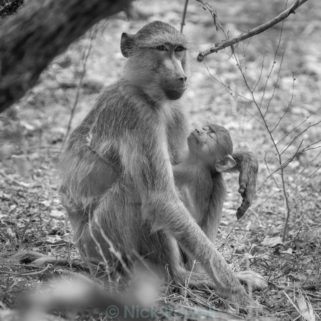 """Adult and Child Baboon in Africa"" stock image"