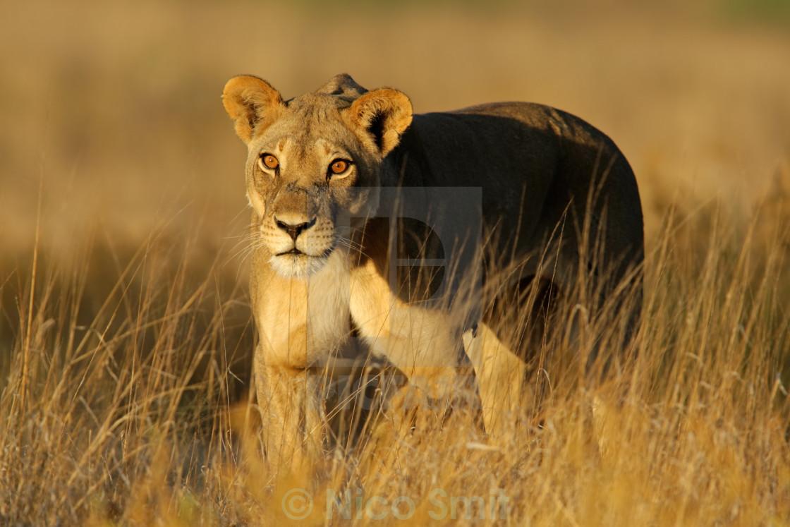 """Lioness walking"" stock image"