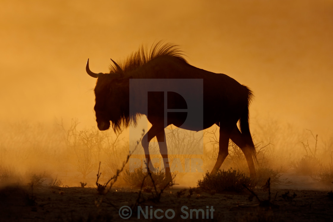 """Blue wildebeest in dust"" stock image"