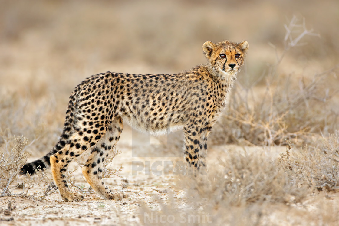 """Young cheetah (Acinonyx jubatus) in natural habitat, Kalahari desert, South Africa"" stock image"