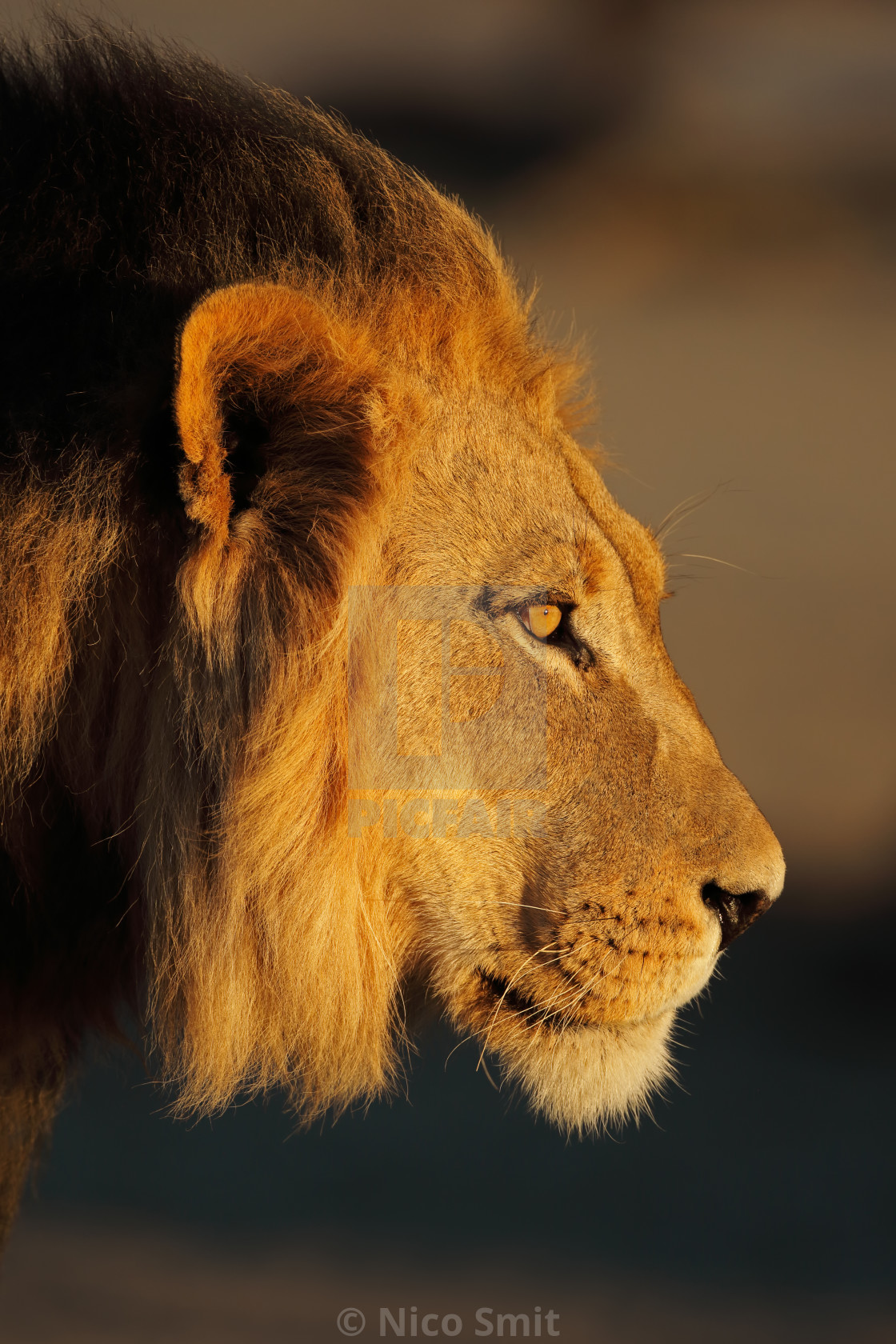 """African lion portrait"" stock image"