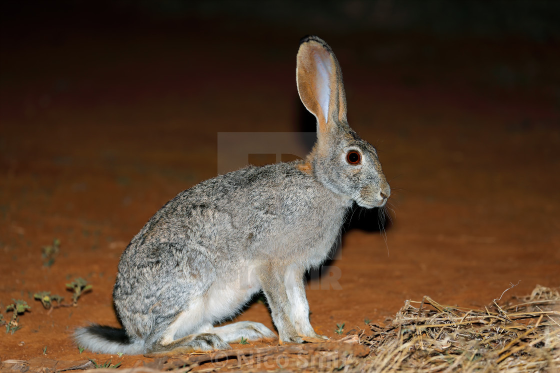 """Alert scrub hare"" stock image"