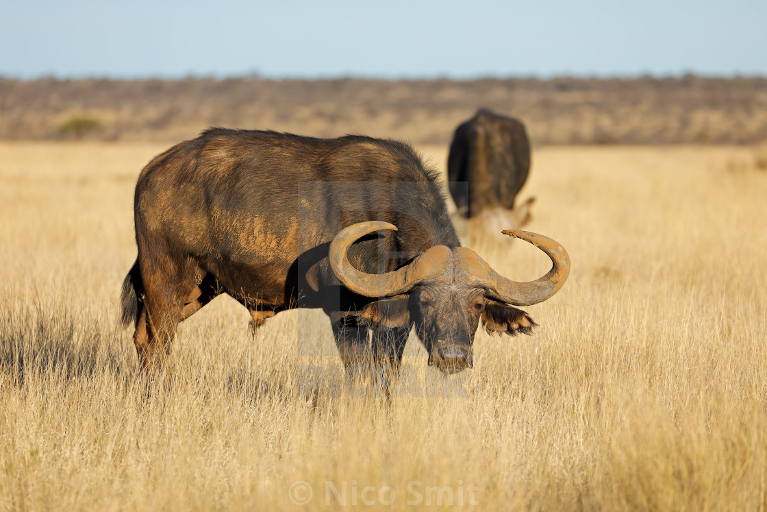 """An African buffalo (Syncerus caffer) in open grassland, Mokala National park, South Africa"" stock image"