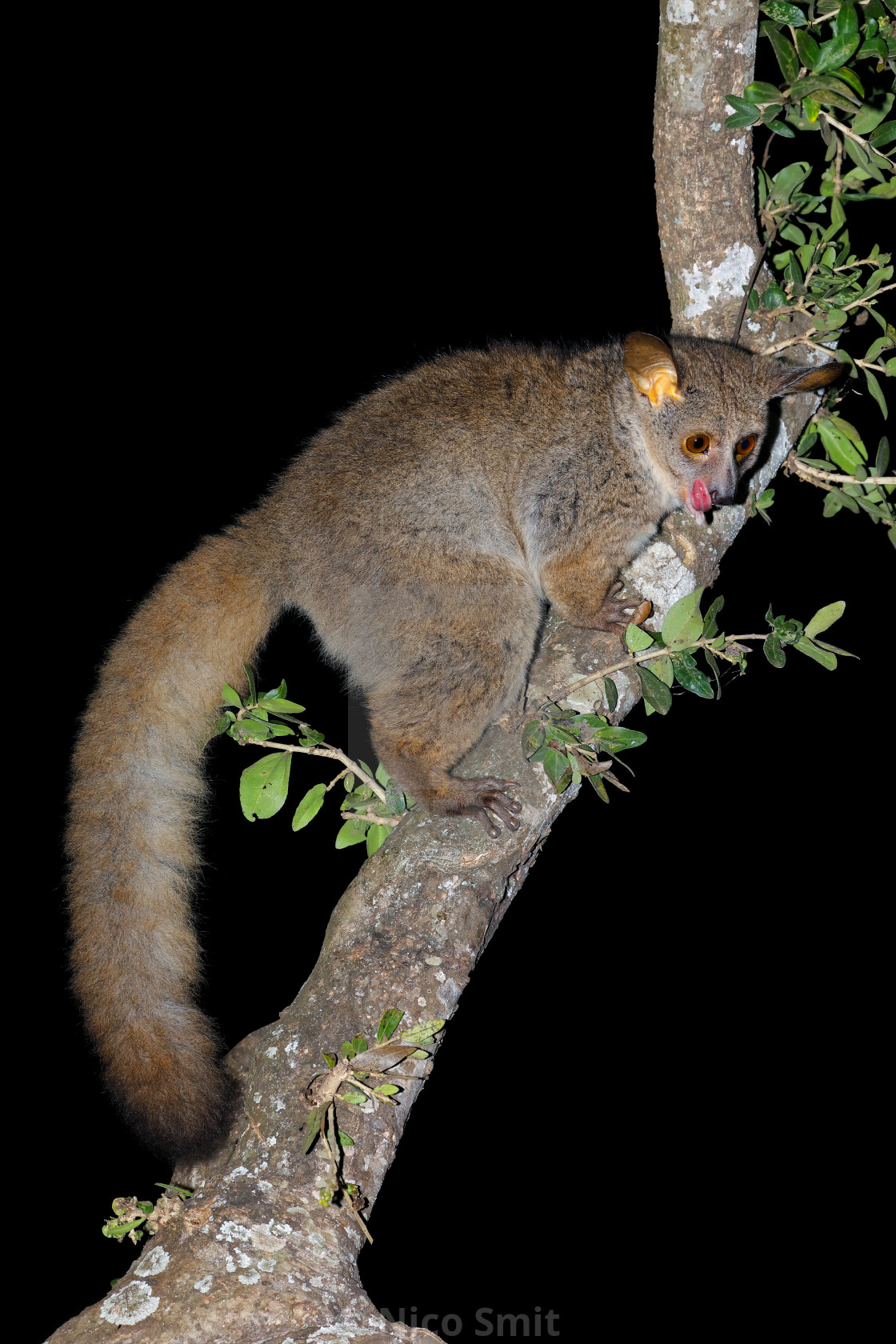 """""""Greater galago in a tree"""" stock image"""