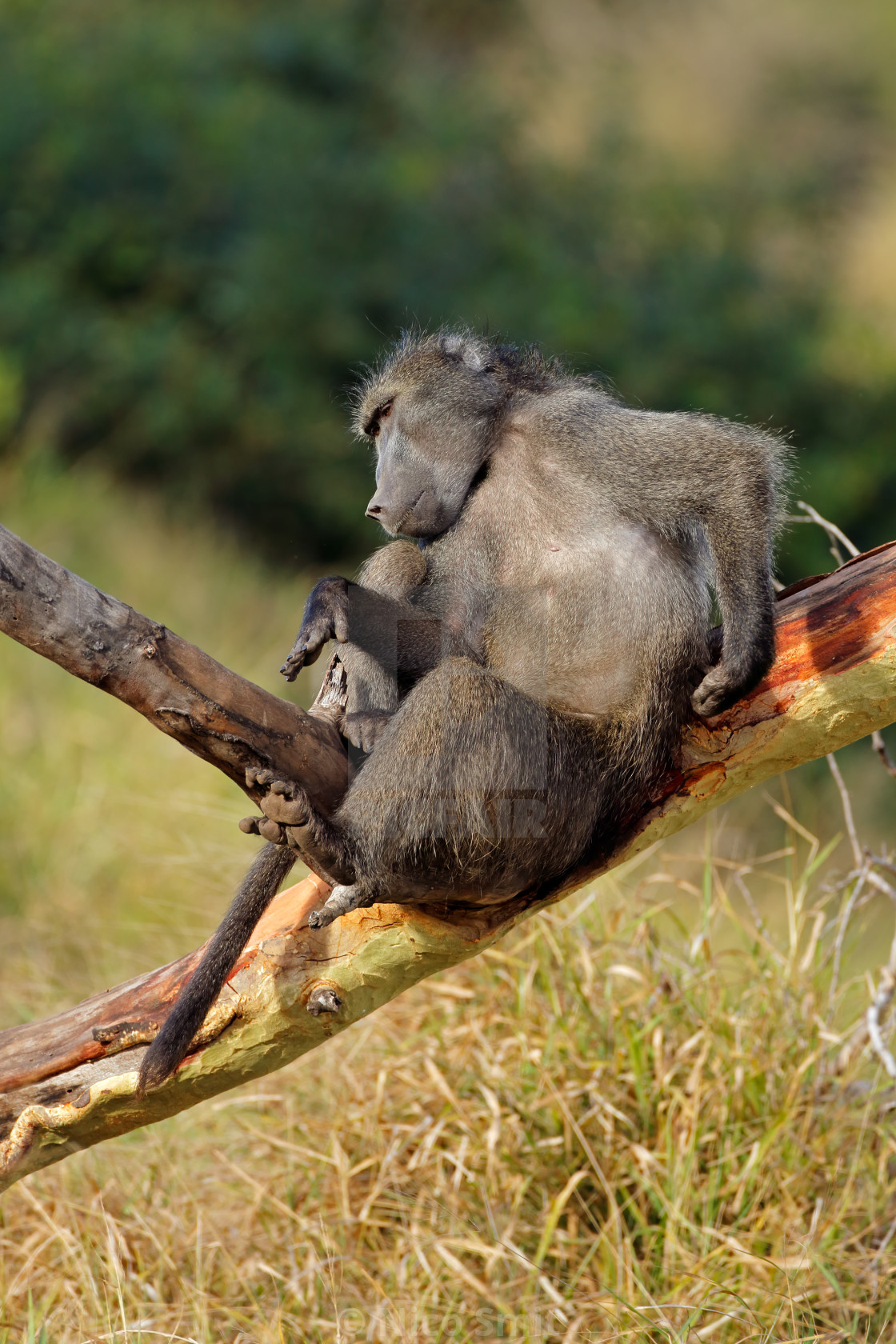 """""""Male chacma baboon in a tree"""" stock image"""