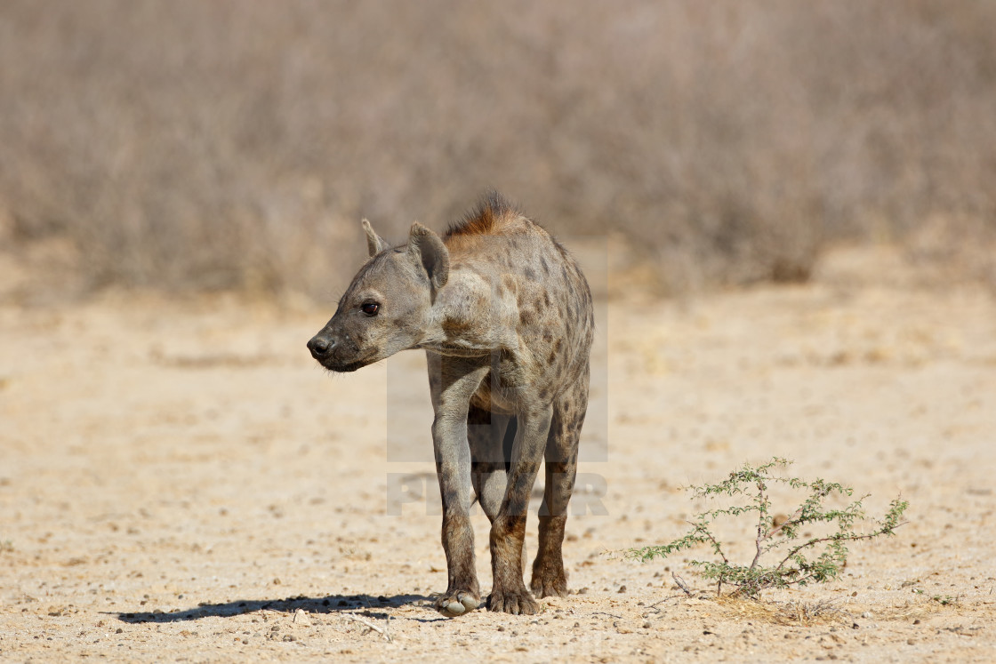 """""""Spotted hyena in natural habitat"""" stock image"""