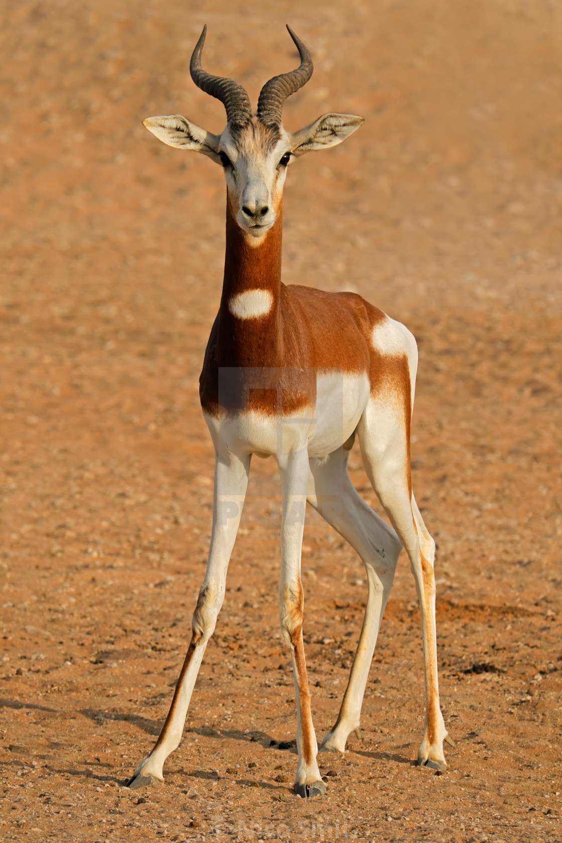 """Endangered dama gazelle"" stock image"