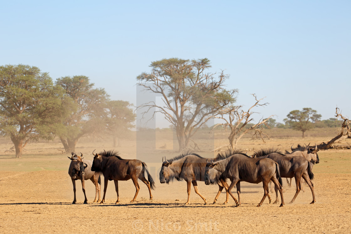 """""""Blue wildebeest in dry riverbed"""" stock image"""
