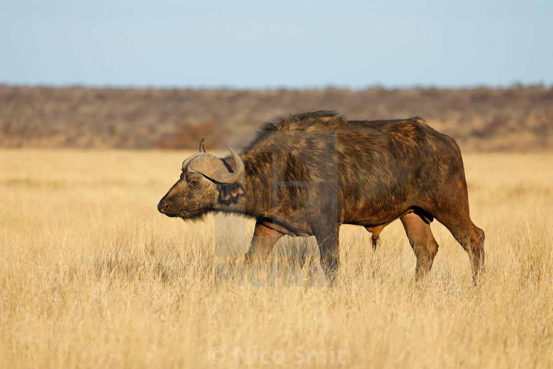 """African buffalo in grassland"" stock image"