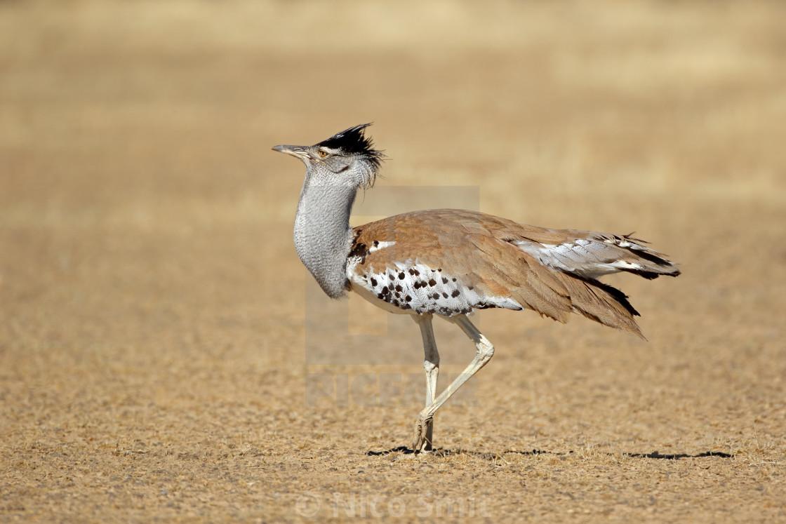 """Kori bustard - Kalahari desert"" stock image"