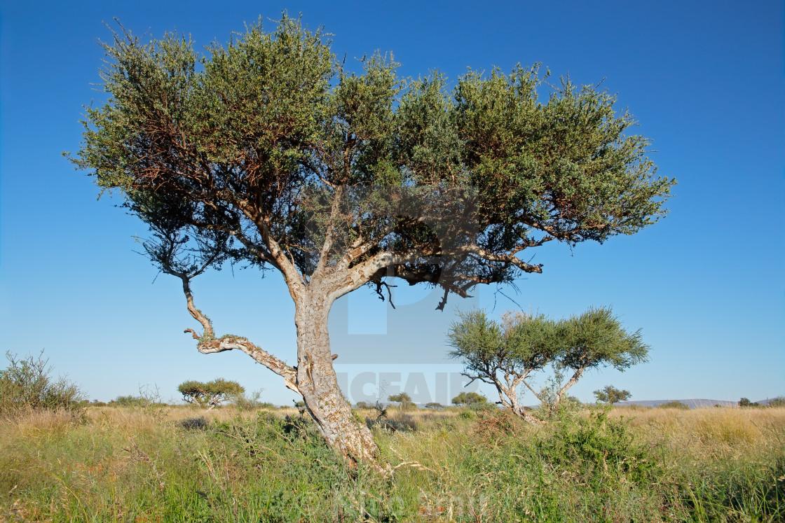 """Shepherds tree against a blue sky"" stock image"