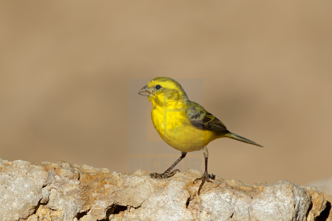 """""""Yellow canary - South Africa"""" stock image"""