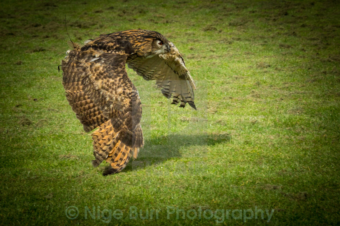 """owl landing it's prey"" stock image"