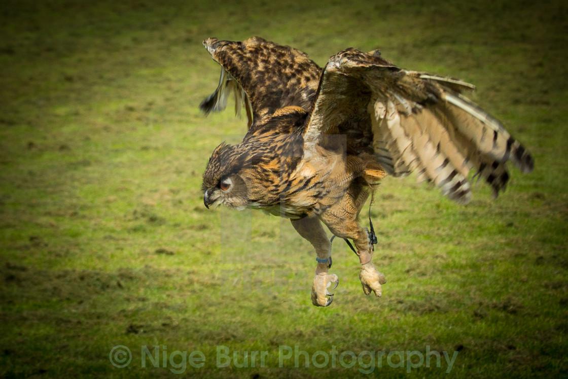 """Owl landing on it's prey"" stock image"