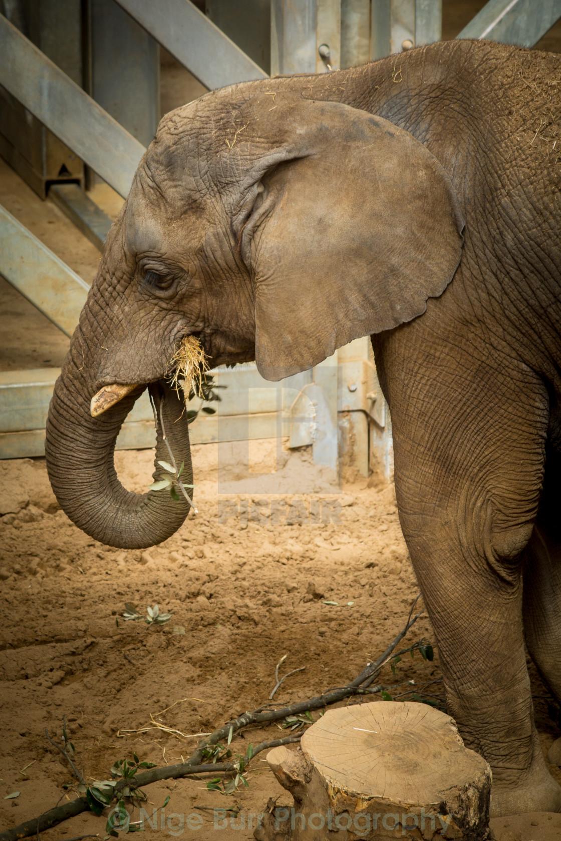 """""""Asian Elephant"""" stock image"""