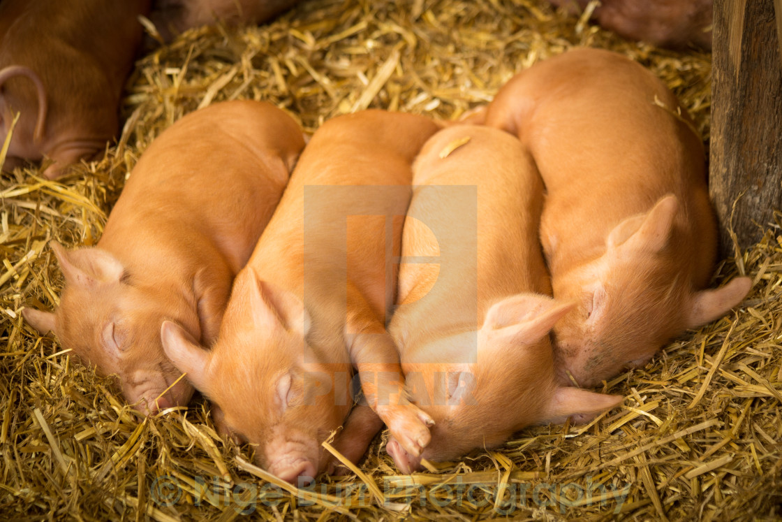 """Piglet bunch"" stock image"