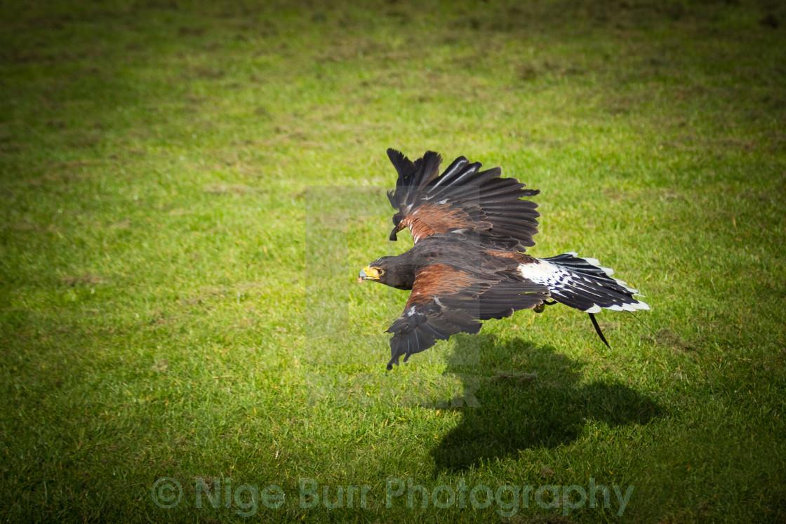 """Harris Hawk hunting"" stock image"