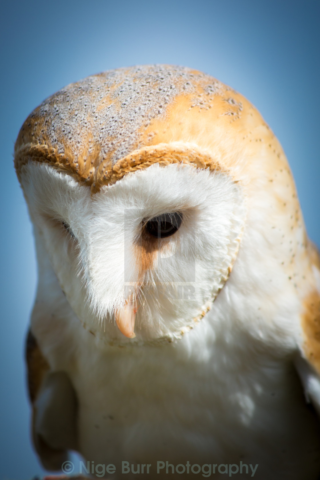 """Barn Owl close up"" stock image"