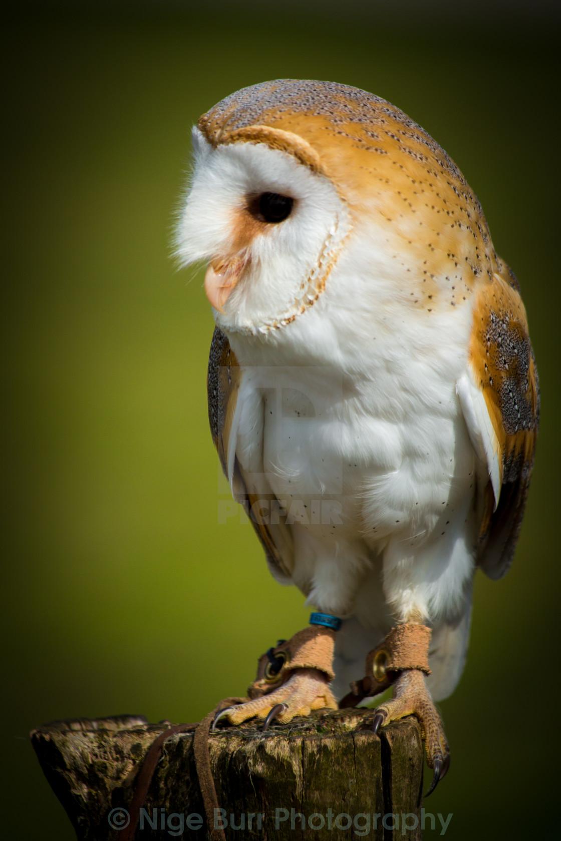"""""""Barn Owl Watching"""" stock image"""
