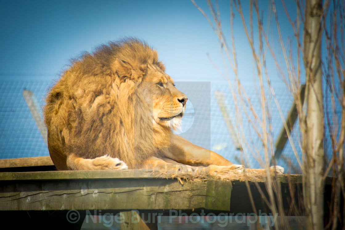 """""""Male Lion at rest"""" stock image"""