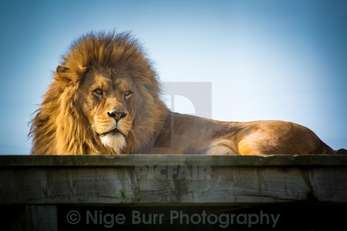 """Male Lion Watching"" stock image"